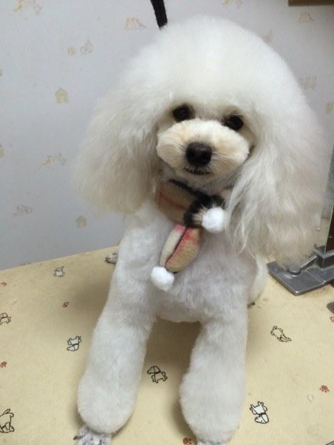 0:Dog Salonりぼん トイプードル トリミング